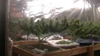Organic CFL indoor Medical Marijuana Grow Part 9