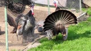 getlinkyoutube.com-Wild Turkey Vs. Pet Turkey 4/16/10