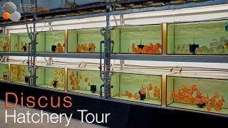 getlinkyoutube.com-Small Tour through our Discus Hatchery