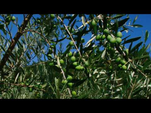 Olive Trees: France The French Way