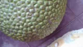 getlinkyoutube.com-ขนุน พันธุ์ทวาย ออกทั้งปี หอมอร่อย