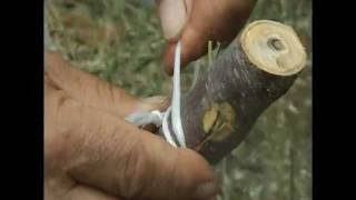getlinkyoutube.com-HOW TO GRAFT FRUIT TREES on Krete: pear almond lemon citrus trees