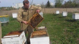 getlinkyoutube.com-Пересадка пчел в подготовленные и покрашенные улья  Матка Бакфаст F1 Queen bee Buckfast F1