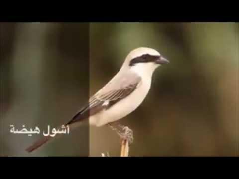 أسماء طيور ربيع الكويت