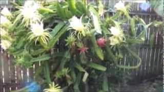 getlinkyoutube.com-17 Pitahaya - Dragon Fruit Flowers in 1 Day on 1 Plant Awesome.