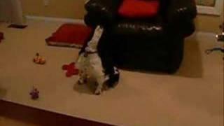 getlinkyoutube.com-Cocker Spaniel barks at Empire TV commercial