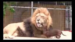 un lion pédé qui fait l amour avec un chien