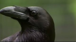 getlinkyoutube.com-Stealing, Spying and Bluffing: The Raven - Extraordinary Animals - Series 2 - Earth
