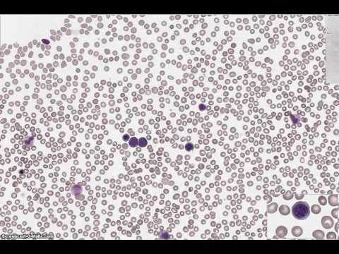 Erythrocyte Maturation