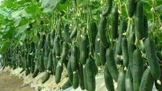 getlinkyoutube.com-vegetable farming,  commercial tomato production,  hindi/urdu