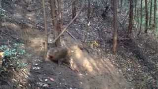 getlinkyoutube.com-猪の罠猟