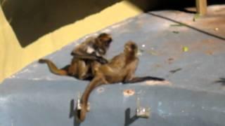 getlinkyoutube.com-Spider Monkey Love
