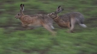 getlinkyoutube.com-В мире животных. Брачные игры зайцев.