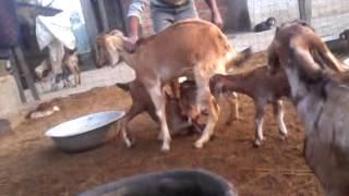 "getlinkyoutube.com-Goat Farming in Nepal ""Srijana Goat Farm"" (Semlar-2, Rupandehi)"
