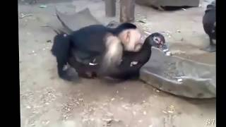 getlinkyoutube.com-Funny Vines - Funny Pranks - Funny Animals - Funny Moneky Mating - Funny Monkey