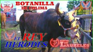 BOTANILLA DE COLIMA CAE PRIVADO DE LOS LOMOS DEL//REY HERODES//LOS TOROS DIVINOS