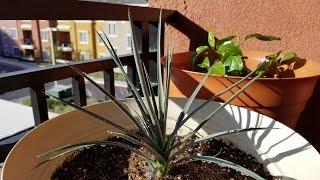 getlinkyoutube.com-Growing Joshua Trees from Seeds, Days 514-641