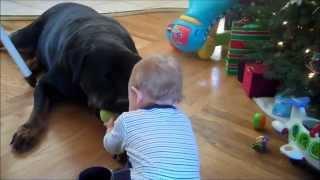 getlinkyoutube.com-Baby Jaylon playing ball with Chopper, his 150lb Rottweiler
