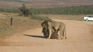 getlinkyoutube.com-Lions Kill two Buffalo in Addo reserve,South Africa