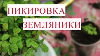Пикировка Земляники. Правильная пикировка - залог урожая