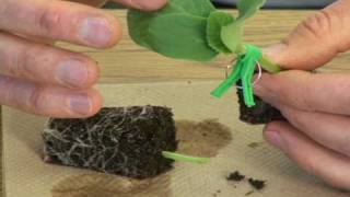 getlinkyoutube.com-Single cotyledon grafting.avi