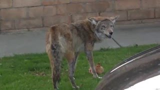 Coyote Eats Cat in Hollywood