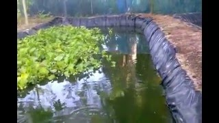 getlinkyoutube.com-การเลี้ยงปลาด้วยบ่อพลาสติก แบบอิงธรรมชาติ