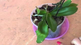 getlinkyoutube.com-Нижние листья теряют тургор. Причина не всегда в корнях.