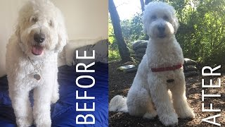 getlinkyoutube.com-Decker Gets A Haircut: Goldendoodle At Home Puppy Cut (Tutorial?)