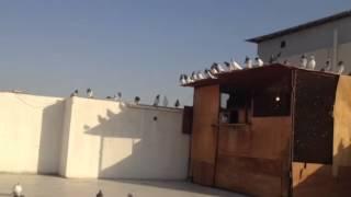 حمام باكستاني للبيع