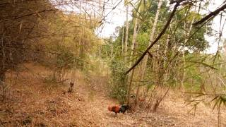 getlinkyoutube.com-ต่อไก่ป่า (ซ้าง)