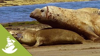 getlinkyoutube.com-The heavy, forced mating of the Elephant Seals