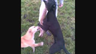 HUNTING FOXES AND BADGERS WITH TERRIERS AND LURCHERS...wmv