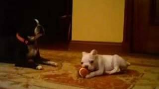 getlinkyoutube.com-My Boston Terriers