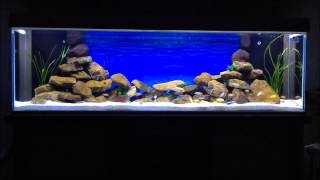 getlinkyoutube.com-Malawi Aquarium LED Mbuna Cichliden 720l