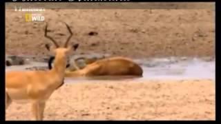 getlinkyoutube.com-تمساح صغير يكسر رقبة غزال مع قرونها ويفترسها
