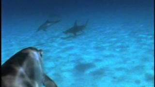 getlinkyoutube.com-Dolphins Protect Diver from Hammerhead Shark