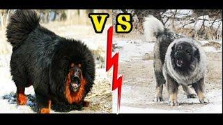 مقارنة بين كلاب التيبتان ماستيف و القوقازي CAUCASIAN SHEPHERD VS TIBETAN MASTIFF !!!