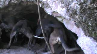 getlinkyoutube.com-Arizona Bear Hunt, Unit 23, 2013