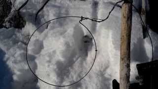 How to trap beaver through the ice 2014. Part 1