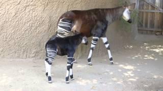 Baby Okapi Shows Off Stripes at San Diego Zoo Safari Park