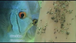 getlinkyoutube.com-19 Blue Discus Egg Fry Wriggler Free Swimmer