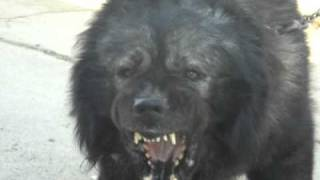 getlinkyoutube.com-De Pod Inalt Kennel (Caucasian Shepherd Dog)