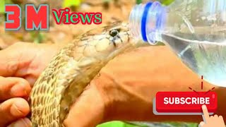 Venomous Cobra Drinking Cool Water From Bottle