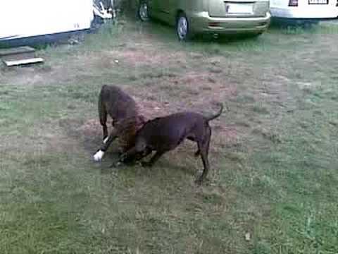 Walki psów ;)