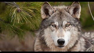 getlinkyoutube.com-چگونه گرگها رودخانهها را تغيير دادند