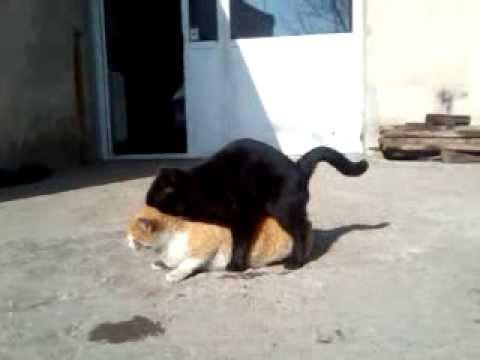 parenje macke (macka djurdja)