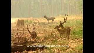 getlinkyoutube.com-Chital or Axis deer at forest edge