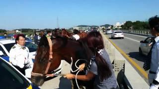 청주시 오송읍 말 탈출 영상