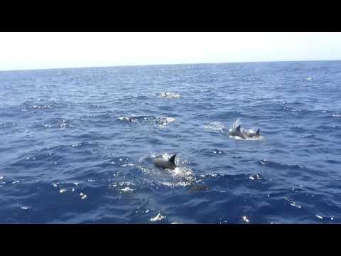dolfijnen op de  atlantische oceaan gran canaria puerto rico